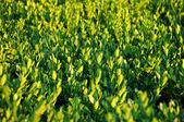 Green hedge — Stock Photo