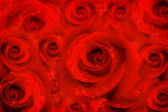 Background rose flowers, red passion — Stock Photo