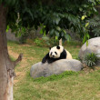 Grand panda bear — Stock Photo #10094052