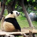 Grand panda bear — Stock Photo
