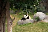 Gran oso panda — Foto de Stock