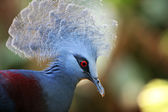 Victoria Crowned Pigeon — Stock Photo