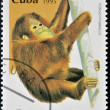 Stock Photo: CUB- CIRC1995: stamp printed in Cubshows pongo pygmaeus, circ1995