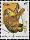 CUBA - CIRCA 1995: A stamp printed in Cuba shows pongo pygmaeus, circa 1995 — Stock Photo