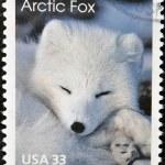 An arctic fox — Stock Photo