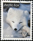 An arctic fox — Stock Photo