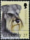 GUERNSEY - CIRCA 2001: A stamp printed in Guernsey shows a dog, miniature schnauzer, circa 2001 — Stock Photo