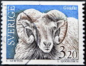 SWEDEN - CIRCA 1997: A stamp printed in Sweden shows a Gotland sheep, circa 1997 — Stok fotoğraf