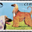CUBA - CIRCA 1994: A stamp printed in Cuba shows two Afghan hounds, circa 1994 — Stock Photo