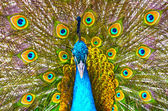 Peacock showing its feathers — Stock Photo