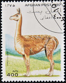 AFGHANISTAN - CIRCA 1997: A stamp printed in Afghanistan shows a lama vicugna, circa 1997 — Stock Photo