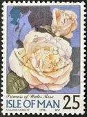 ISLE OF MAN - CIRCA 1998: A stamp printed in Isle of Man shows princess of wales rose, circa 1998 — Stock Photo