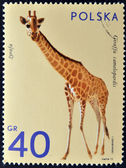 POLAND - CIRCA 1972: A stamp printed in Poland shows giraffe, series is devoted to animal zoo, circa 1972 — Stock Photo