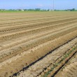 Stock Photo: Rows of green seedling in tomatoes field