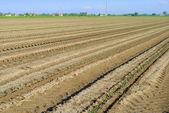 ряды зеленых рассады в поле помидоры — Стоковое фото