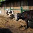 Black and white cows close to a cowshed — Stock Photo