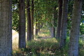 Shady path through the trees in farmlands — Stock Photo