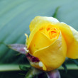 Yellow rose in the garden, green leaf on background — Stock Photo