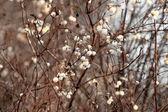 Snowberry — Stock Photo