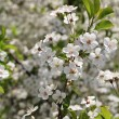 Flowering cherry — Stock Photo