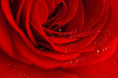 Red rose covered with dew. — 图库照片