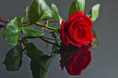 Red rose on a wet floor. — Stock Photo