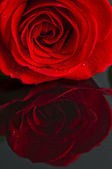 Close up of a red rose. — Stock Photo