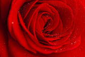 Red rose covered with dew. — Stock Photo