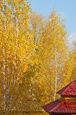 Golden birch — Stock fotografie