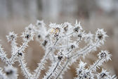 Hoarfrost on dried chamomile — Stock Photo