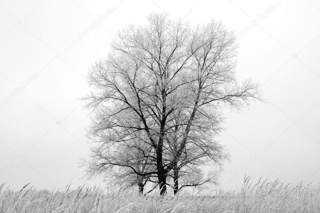 冬季橡木树日落时