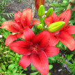 Beautiful redheaded lilies — Stock Photo