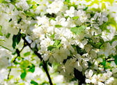 The apple tree in bloom — Stockfoto
