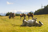 Horses at pasture on the Appennino — Stock Photo