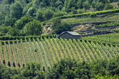 Vineyards in Valle d'Aosta — Stock Photo