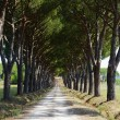 Maremma (Tuscany), road and pines - Stock Photo