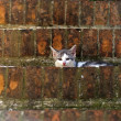 Sovana (Tuscany), cat - Stock Photo