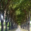 Maremm(Tuscany), road and pines — Stock Photo #8421753