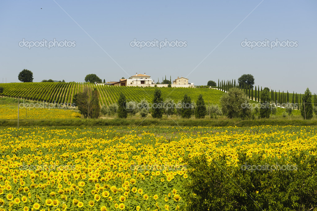 Farm in Umbria (Italy) at summer with sunflowers and vineyards — Stock Photo #9179479