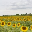 Sunflowers in Tuscany — Stock Photo