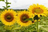 Sunflowers in Tuscany — Stock Photo