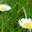Daisy — Stock Photo #10124777