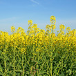 Rapeseed field — Stock Photo #10353846