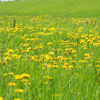 Meadow with dandelions — Stock Photo #10353903