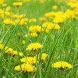 Meadow with dandelions — Stock Photo #10354193