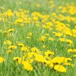 Meadow with dandelions — Stock Photo #10354228