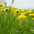 Stock Photo: Meadow with dandelions