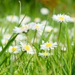 Stock Photo: Daisy and green grass