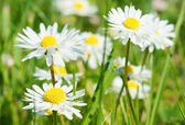 Daisy and green grass — Stock Photo