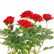 Red Roses — Stock Photo #8713162